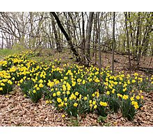 Daffodils in the Forest Photographic Print