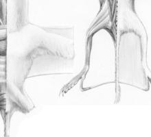 Anurognath Muscle Study Sticker