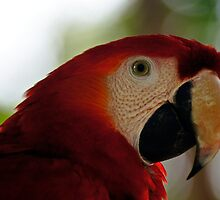 Red Kaw by pcfyi