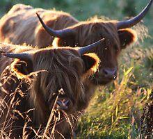 Highland Cattle at dusk by CatBradford