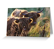 Highland Cattle at dusk Greeting Card