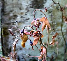 Withered Beauties by Jess Meacham