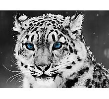 Tiger blue eyes Photographic Print
