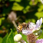 Honey Bee by Jess Meacham