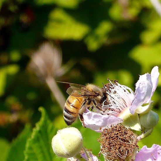 Honey Bee by Jess Meacham