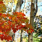 Harmony - Birch And Maple by Debbie Oppermann