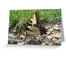 Tiger Swallotail Butterfly Greeting Card