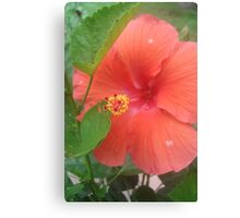 Water on Hibiscus Canvas Print