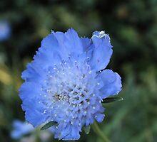 Blue beauty by Amanda Campeau