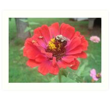 Bumble Bee on Zinnia Art Print