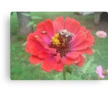 Bumble Bee on Zinnia Metal Print