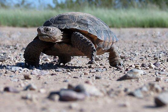 Desert Tortoise by Kimberly Chadwick