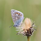 Common Blue 3 by Neil Ludford