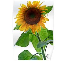 Sunflower in Bloom Poster