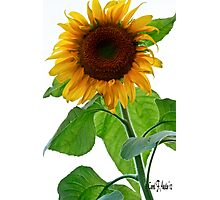 Sunflower in Bloom Photographic Print