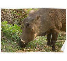Warthog browsing for food Poster