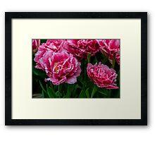 Blush of Tulip Framed Print