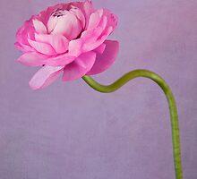 pink ranuncula by gardenessence