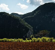 Sunlit sugar canes and lone tree against the Magotes by MarcW