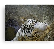 white male tiger very curious  Canvas Print