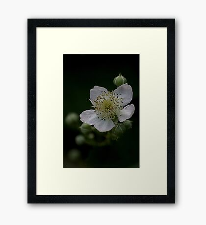 Blackberry flower in a hedgerow Framed Print