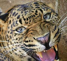female leopard up close and personal  by AnnaRingo
