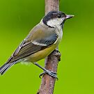 Great tit,in the rain by Margaret S Sweeny