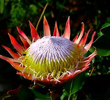 King Protea by croust