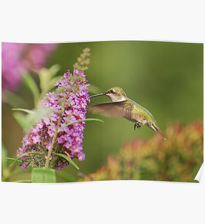 Another Hummingbird!! Poster