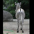 Zebra from Behind by metronomad