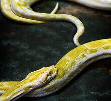 Albino Burmese Python by NSantos