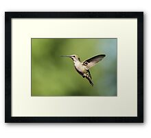 Hummingbird with full belly Framed Print
