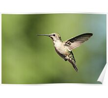 Hummingbird with full belly Poster