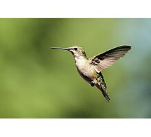 Hummingbird with full belly Photographic Print