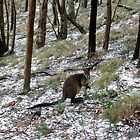 Wallaby in aftermath of a hail storm. by Ern Mainka