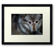 Canadian Timber Wolf Framed Print