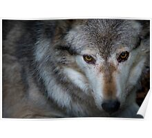 Canadian Timber Wolf Poster