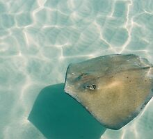 Sting ray on sting ray sand bar by AnnaRingo