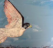Freedom of a Falcon by Narin Ismail