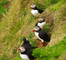 Puffin on Shetland by Peter and Sue Blackwood