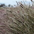 Buffel Grass Along the Road by Saraswati-she