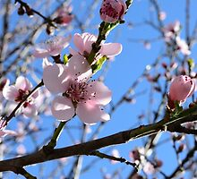 Nectarine Blossums by PatrickLawrence