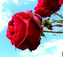 Red Rose No.1 by Lewis Kesterton Photography