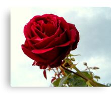 Red Rose No.6 Canvas Print