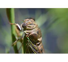 Golden cicada Photographic Print