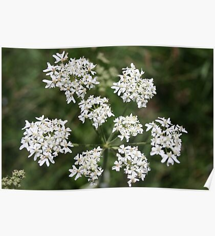 8 White Flowers  Poster