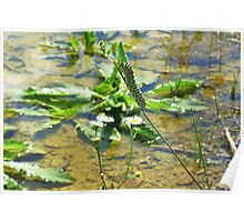 Black Swallowtail Caterpillar at the Watering Hole Poster