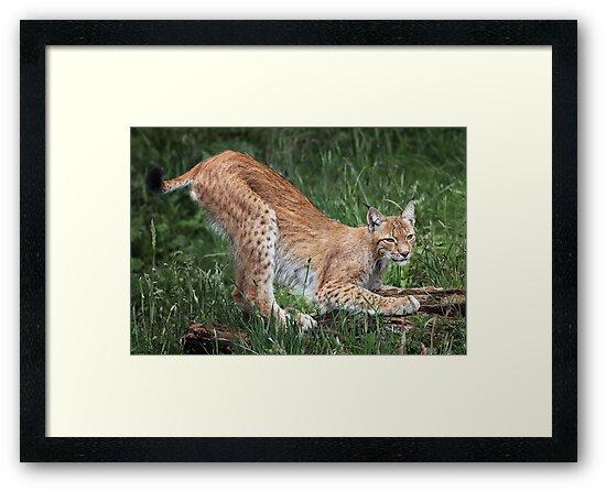 Lynx by Patricia Jacobs DPAGB LRPS BPE4