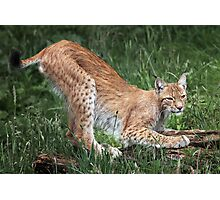 Lynx Photographic Print