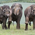 Three Elephants by Patricia Jacobs CPAGB LRPS BPE3